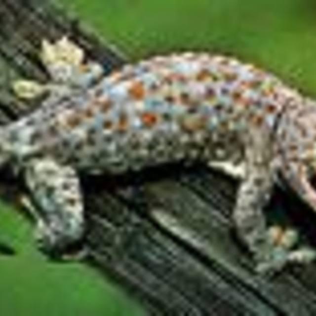 Echo Gecko