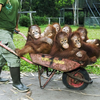 Orangutan Wheelbarrow